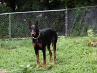 Sunny is a superior size Amer/Euro bred doberman. She