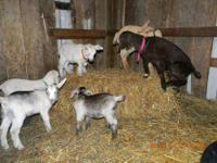 I have several Kiko-cross buckling goats for sale! All