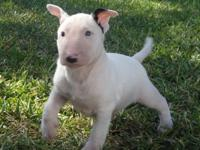 Sure Bull Terrier Puppies Available. Lovely and