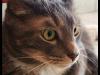 Sushi is a gorgeous 2-year-old gray/brown tabby with a