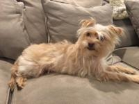 This is Susie, young, female, Yorkie mix. She is a