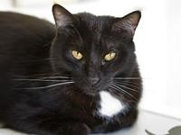 Suzette's story 5 year old DSH Black with White, Spayed