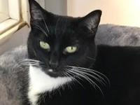 Suzi is a sweet, but shy Tuxedo. She enjoys playing