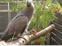 cccdv Congo African Grey Parrots.Kindly Contact me