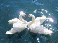 We raise all breeds of swans. All of our swans are tame