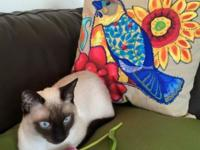 Sweet, affectionate, siamese male. Up to date on shots