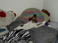 Seeking an active home for my JRT puppy. Bought as a