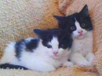 Sweet, adorable pair of eight week old black and white