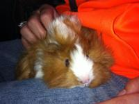 i have a sweet adorable female guinea pig to