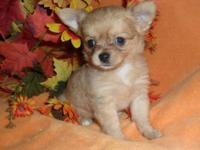 Super adorable and sweet Longcoat Chihuahua puppies.
