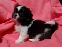 We have 3 beautiful Pek-A-Tzu Puppies looking for great