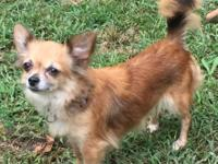 Sweet Sable female Chihuahua to approved, loving home.