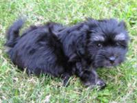 ?Mitzy? is a sweet Havanese female puppy. She is black
