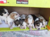 AKC Beagle puppies born 10-12-13 and ready for their