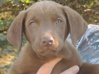 Sweet AKC Chocolate Labrador Retriever puppy female.