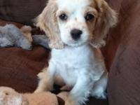 Beautiful AKC Cocker Spaniel puppy. He is a male and 10