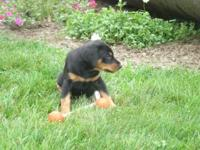 This sweet little guy is fully AKC registered. He is 6