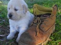 Cute AKC Golden Retriever Puppies born Oct. 12th and