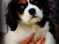 """Dublin"" our tri colored Cavalier boy, is 9 weeks old"