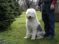 I have an Old English Sheepdog young puppy about 8