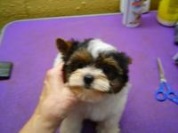 SWEETIE IS AN AKC REG PARTI YORKIE,OUT OF PARTI
