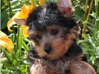 Animal Type: Dogs Breed: Yorkie Our Sweet akc Yorkie