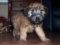 I have a litter of Wheatens all set to go or I will