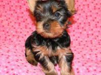 Sweet, Sweet little AKC Yorkie Female for sale to pet
