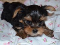 Sweet AKC Yorkie Female Puppy for Adoption. Daisy is a