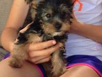 AKC Yorkie female born 4/1/13 Adorable small playful