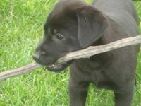 These sweet and adorable AKC labs are brought up in the