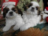 Three precious and adorable (2 females and 1 male) AKC