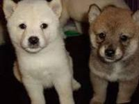 Animal Type: Dogs REGISTERED RED & WHITE MALE SHIBA INU