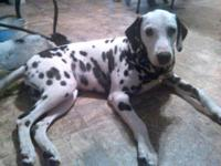 Stunning Dalmatian male available. Colt is 9 mos old.