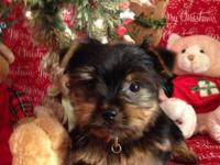 Born 09/03/14 I have 1male and 1female AKC Yorkie