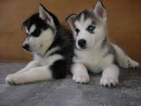 Cute male and female Siberian husky puppies .They are