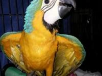 I have a sweet baby blue and gold macaw who is almost