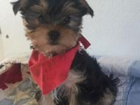 BEAUTIFUL AND VERY SMART LITTLE FEMALE YORKIE. LOVES TO