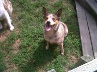 Five year old Australian Cattle dog available. She is