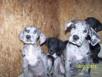 born on 1-23-13 We 1 harlq Males,1 black males, 1 merle
