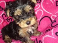 I have a akc male yorkie born may 9th. He is super