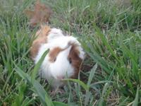 I have available, super cute, 4 week old Guinea Pig