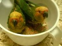 These are sweet baby handfed Sun Conures. They range in