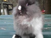 I have several Lionhead babies available if you are