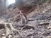 6 month old, female Beagle Mix, beautiful reddish brown