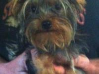 We are selling this sweet, beautiful 7 month old Yorkie