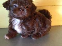 Three male Shih Tzu Puppies looking for warm,