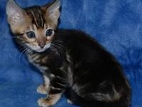 Sweet bengal Kitten comes with a health guarantee as