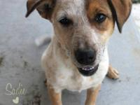 Sadie is a young blue heeler mix, and is free to a good