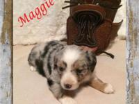 Sweet Toy Blue Merle Female Australian Shepherd Puppy ""